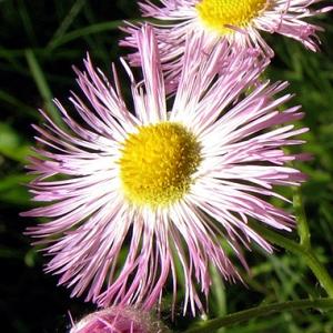 Allstar-Pink-Jewel
