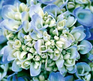 Hydrangea-Endless-Summer-large-63142