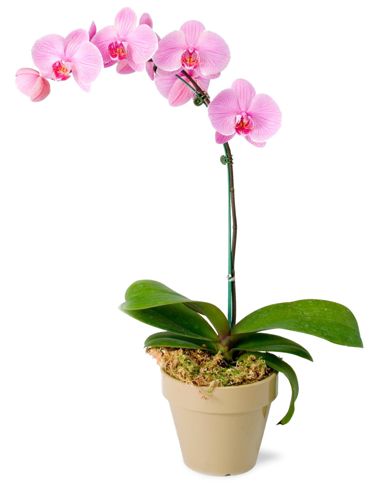 У орхидеи опадают бутоны. Орхидеи: вопросы и ответы