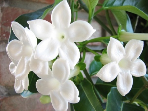Stephanotis_flowers