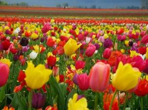 tulip-pictures-1