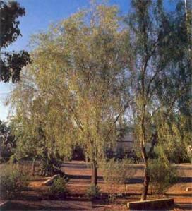 willow_Acacia_2